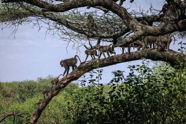 Photograph - Baboons On A Limb by Mary Lee Dereske