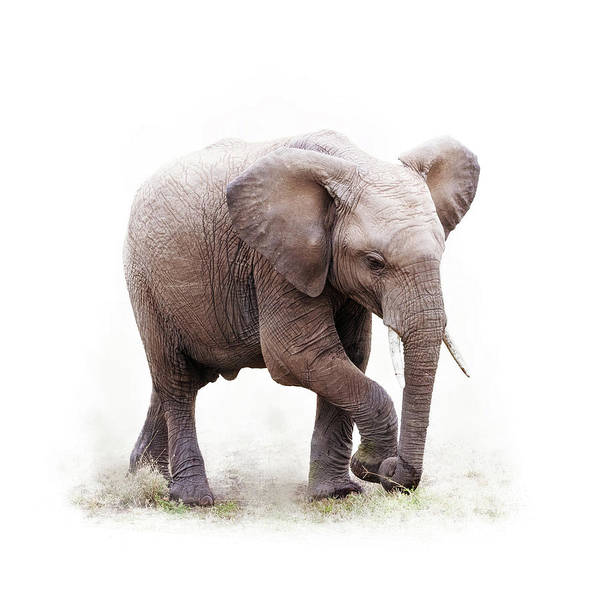Wall Art - Photograph - Baby African Elephant Isolated On White by Susan Schmitz