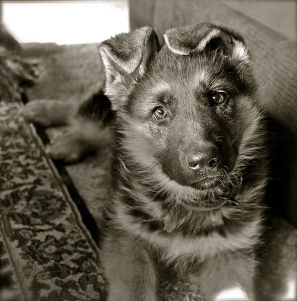 German Shepherd Photograph - baby Alexis by Karon Melillo DeVega