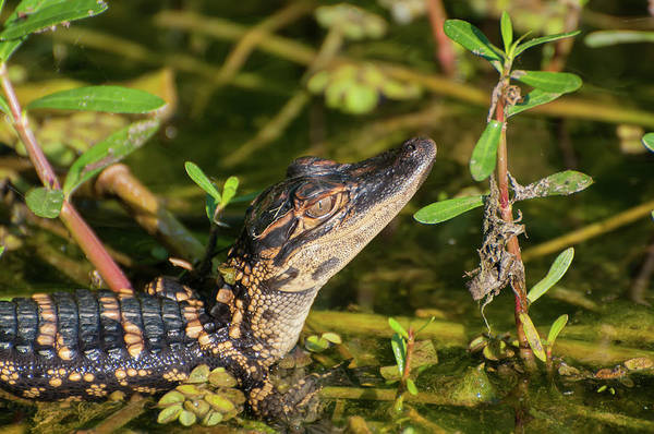 Wall Art - Photograph - Baby Alligator Close-up by Rich Leighton