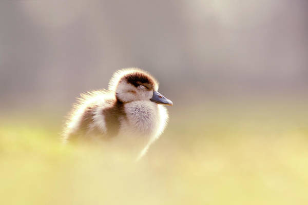 Baby Animals Series - Zen Gosling Art Print