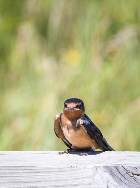 Photograph - Baby Barn Swallow by Michael Chatt
