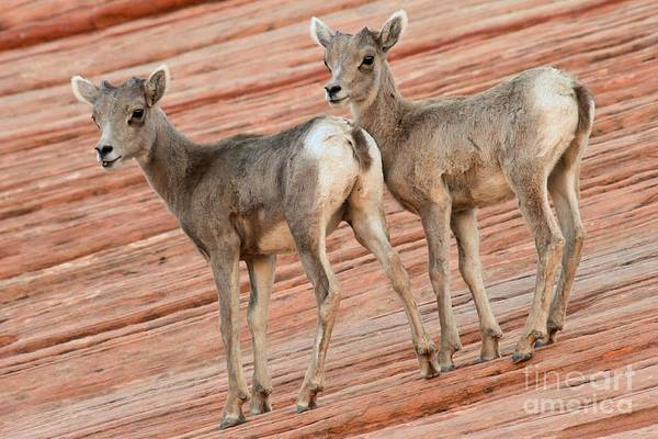 Photograph - Baby Big Horn Sheep by Adam Jewell
