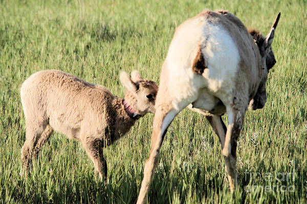 Wall Art - Photograph -  Baby Bighorn Heading For The Milk Factory by Jeff Swan