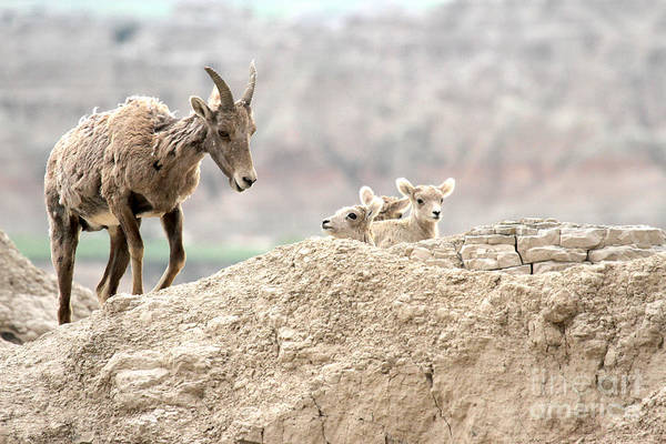 Photograph - Baby Bighorns And Mom by Adam Jewell