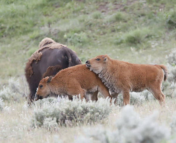 Photograph - Baby Bison Siblings by Dan Sproul