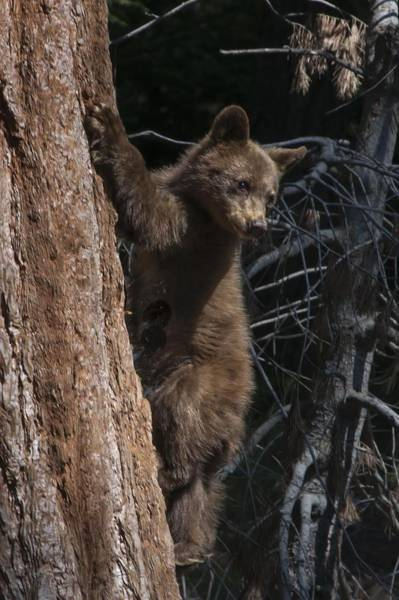 Photograph - Baby Black Bear In High Sierras by NaturesPix