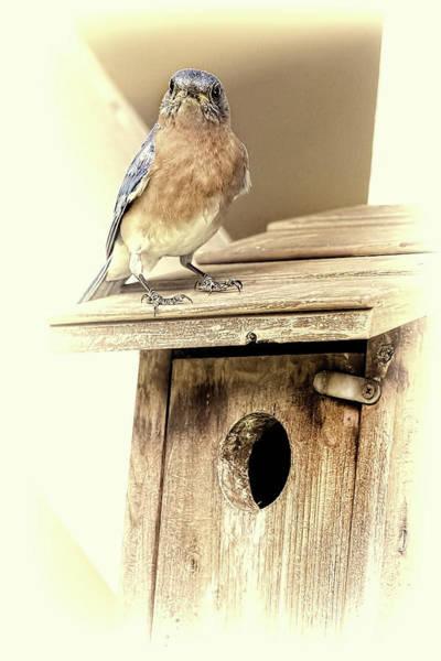 Photograph - Baby Bluebird Season In Cream by Kay Brewer