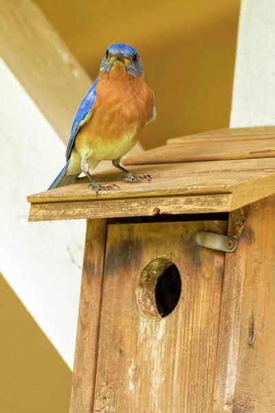 Photograph - Baby Bluebird Season by Kay Brewer