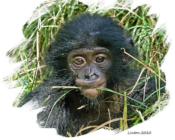 Bonobos Photograph - Baby Bonobo by Larry Linton