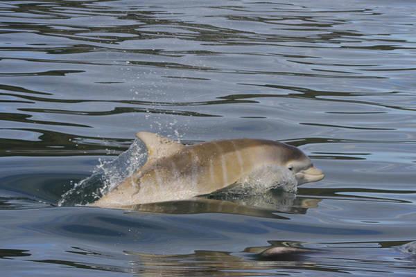 Photograph - Baby Bottlenose Dolphin - Scotland  #35 by Karen Van Der Zijden