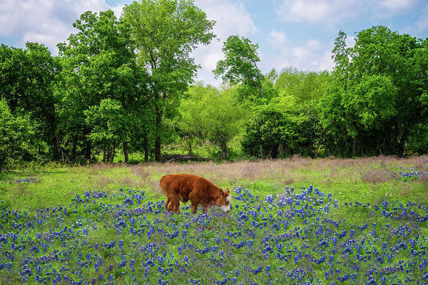 Photograph - Baby Bull In Blue by Lynn Bauer