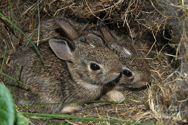 Sylvilagus Floridanus Photograph - Baby Bunnies by Judy Whitton