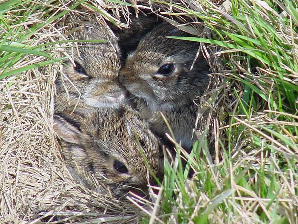Bunnies Photograph - Baby Bunnies by Marsha Elliott