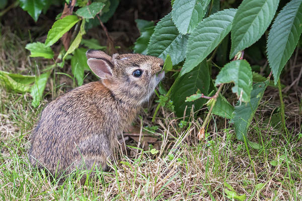 Photograph - Baby Bunny Eating Leaf by Terry DeLuco