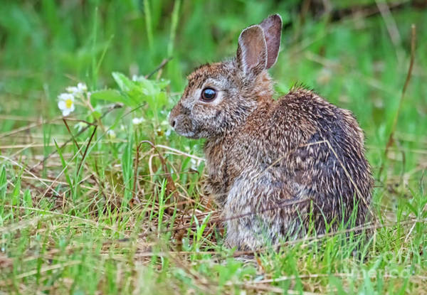 Photograph - Baby Bunny by Nina Stavlund