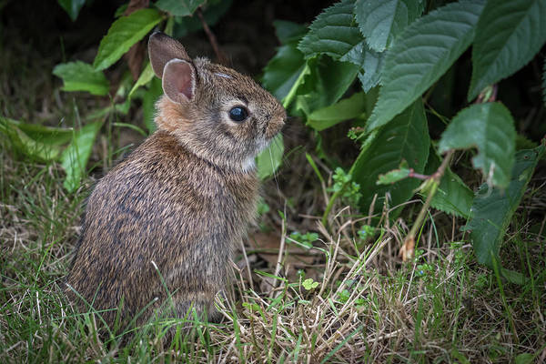 Photograph - Baby Bunny Side Portrait  by Terry DeLuco