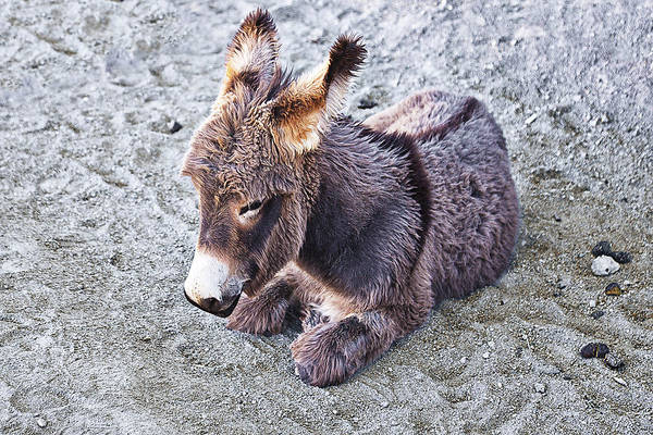 Photograph - Baby Burro by Tatiana Travelways