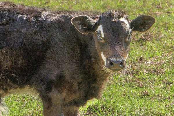 Milk Farm Restaurant Photograph - Baby Calf by Dennis Dugan