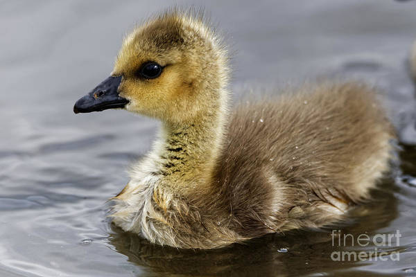 Photograph - Baby Canada Goose Closeup by Sue Harper