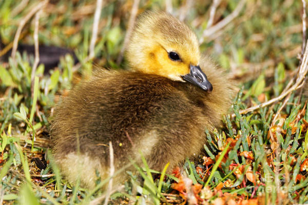 Photograph - Baby Canada Goose by Sue Harper