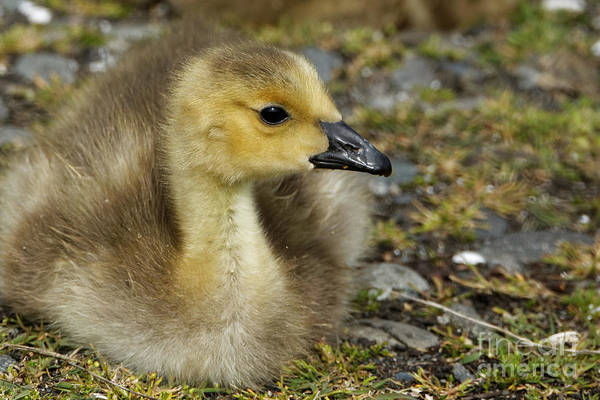 Photograph - Baby Canada Goose Taking A Look by Sue Harper
