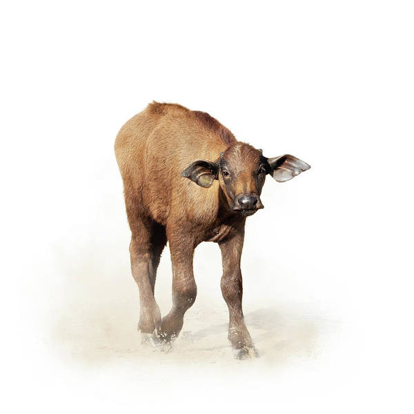 Wall Art - Photograph - Baby Cape Buffalo Isolated On White by Susan Schmitz