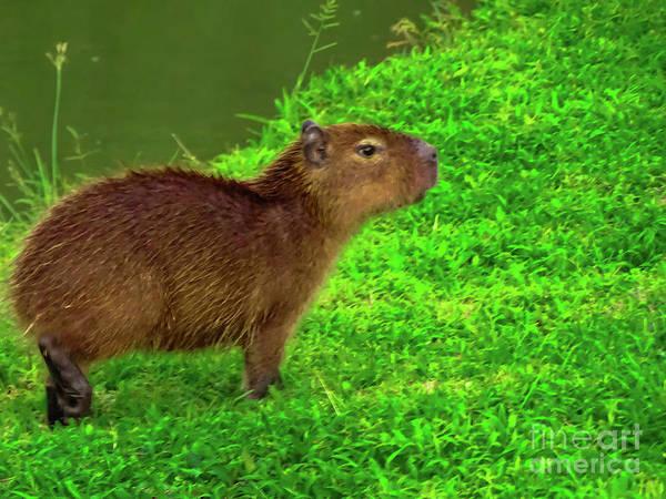 Photograph - Baby Capybara 2 by Camille Pascoe