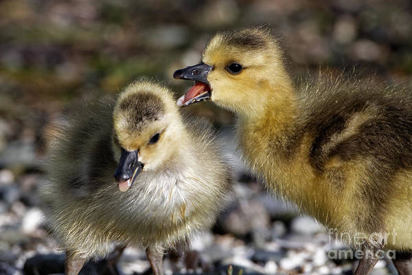Photograph - Baby Chicks by Sue Harper