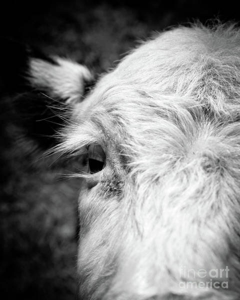 Photograph - Baby Cow by Edward Fielding