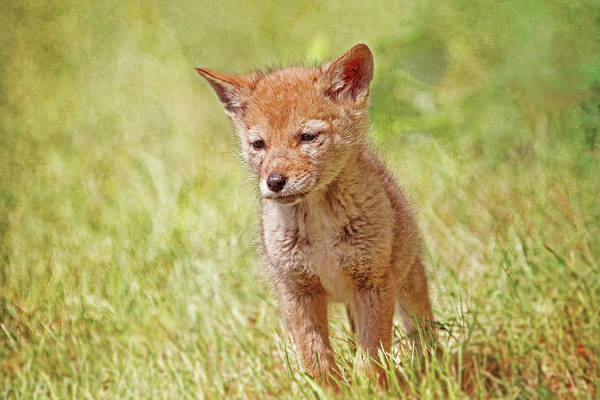 Photograph - Baby Coyote Wild And Free by Peggy Collins