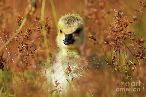 Photograph - Baby Cuteness - Young Canada Goose by Sue Harper