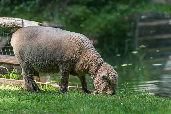 Photograph - Baby Doll Sheep Cuttalossa Farm Pa by Terry DeLuco