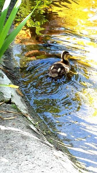 Photograph - Baby Duck by Nikki Dalton