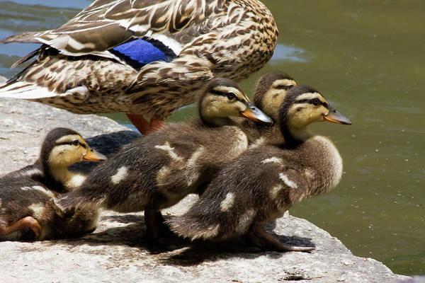 Photograph - Baby Ducks by Jill Lang
