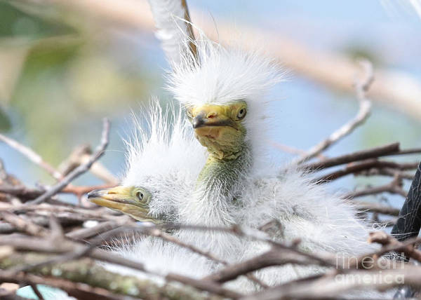 Just Birds Photograph - Baby Egrets With Wild Hair by Carol Groenen
