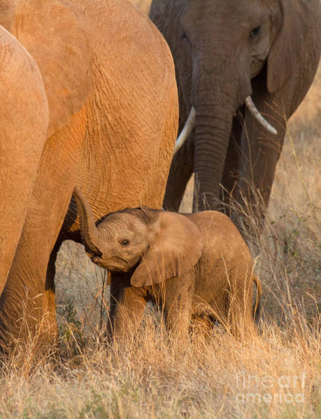 Photograph - Baby Elephant 2 by Chris Scroggins