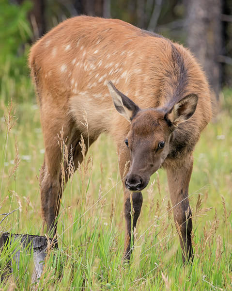 Photograph - Baby Elk by Loree Johnson