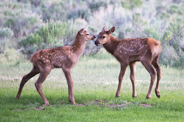 Photograph - Baby Elk by Wesley Aston