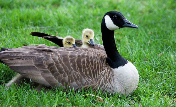 Photograph - Baby Geese by Jill Lang