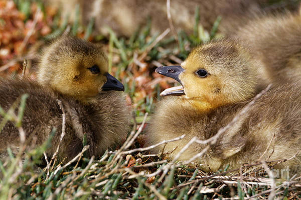 Photograph - Baby Geese - With A Yawn by Sue Harper