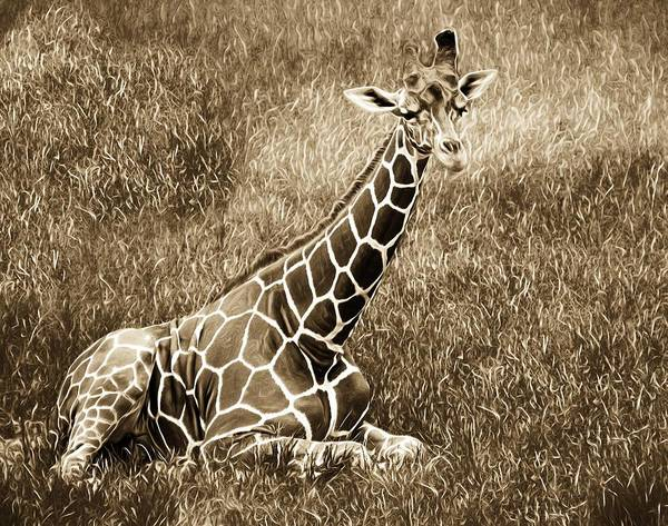 Photograph - Baby Giraffe In Grasses by Alice Gipson