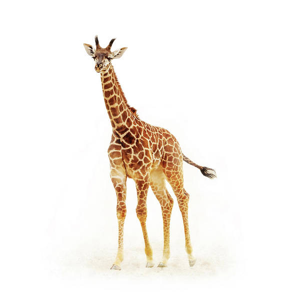 Wall Art - Photograph - Baby Giraffe Isolated On White by Susan Schmitz