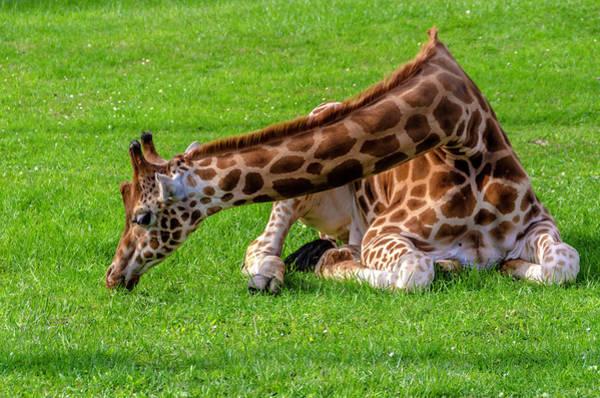 Photograph - Baby Giraffe by Wolfgang Stocker