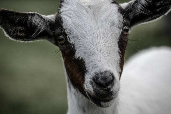 Baby Goat Art Print