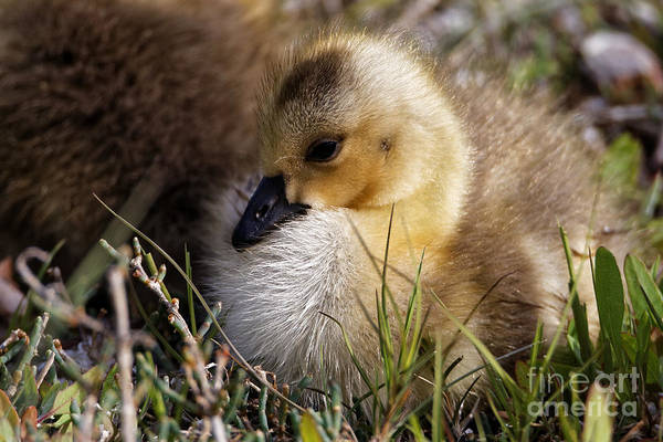 Photograph - Baby Goose At Rest by Sue Harper