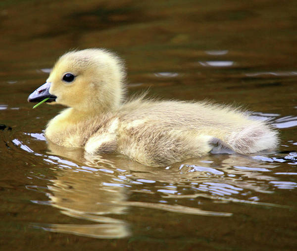Photograph - Baby Goose by Pierre Leclerc Photography