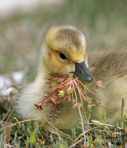 Baby Gosling Collecting Flowers Art Print