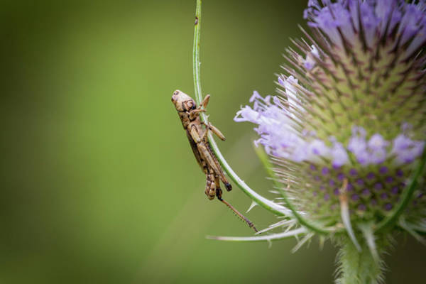 Photograph - Baby Grasshopper by John Benedict