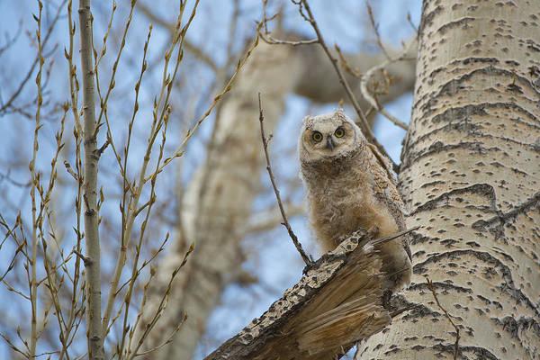 Wall Art - Photograph - Baby Great Horned Owl by Bill Cubitt